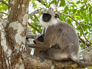A mother tufted gray langur (Semnopithecus priam), with her infant in Polonnaruwa, UNESCO World Heritage Site, Sri Lanka, Asia