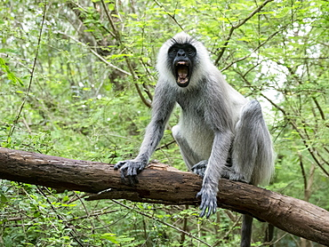 A tufted gray langur (Semnopithecus priam) showing a threat display in Polonnaruwa, UNESCO World Heritage Site, Sri Lanka, Asia