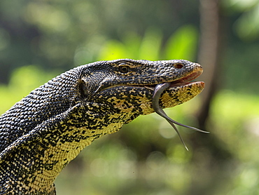 An adult Asian water monitor (Varanus salvator) near Polonnaruwa, Sri Lanka, Asia