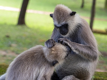 Tufted gray langurs (Semnopithecus priam), grooming each other in Polonnaruwa, UNESCO World Heritage Site, Sri Lanka, Asia