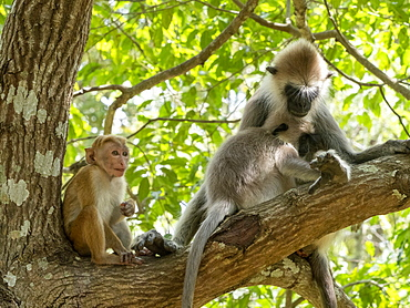 A mother and infant tufted gray langur (Semnopithecus priam) with a toque macaque in Polonnaruwa, Sri Lanka, Asia