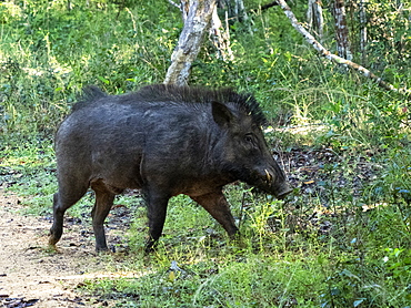 A wild boar (Sus scrofa) foraging in the grass in Wilpattu National Park, Sri Lanka, Asia