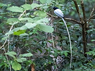 Adult Indian paradise flycatcher (Terpsiphone paradisi) perched on a tree in Wilpattu National Park, Sri Lanka, Asia