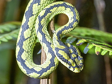 An adult Sri Lanka green pit viper (Trimeresurus trigonocephalus), in the Sinharaja Rainforest Reserve, Sri Lanka, Asia