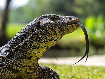An adult Asian water monitor (Varanus salvator), near Polonnaruwa, Sri Lanka, Asia