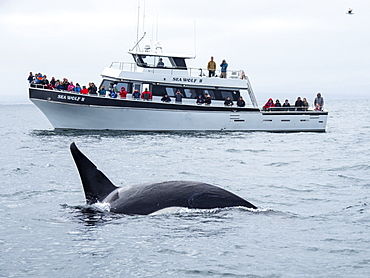 Transient killer whale (Orcinus orca), near whale watching boat, Monterey Bay National Marine Sanctuary, California, United States of America, North America