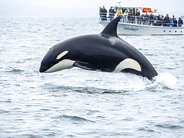 Transient killer whale (Orcinus orca), breaching near whale watching boat, Monterey, California, United States of America, North America