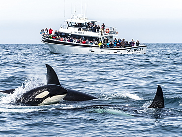 Transient killer whales (Orcinus orca), near whale watching boat, Monterey Bay National Marine Sanctuary, California, United States of America, North America