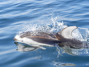 Adult Pacific white-sided dolphin (Lagenorhynchus obliquidens), in Monterey Bay, California, United States of America, North America