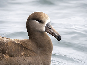 An adult black-footed albatross (Phoebastria nigripes), resting on the sea, Monterey Bay, California, United States of America, North America