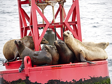 Adult California sea lions (Zanclus californianus), hauled out on a buoy near Moss Landing, California, United States of America, North America