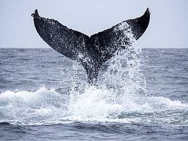 Humpback whale (Megaptera novaeangliae), tail lobbing in Monterey Bay National Marine Sanctuary, California, United States of America, North America