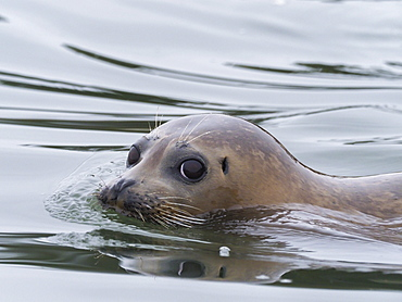 Harbor seal (Phoca vitulina) face detail near Moss Landing, California, United States of America, North America