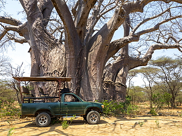 A large African baobab (Adansonia digitata), reputed to be one of the largest in the country, Save Valley, Zimbabwe, Africa