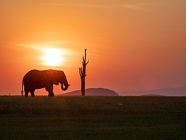 An adult African bush elephant (Loxodonta africana) at sunset on the shoreline of Lake Kariba, Zimbabwe, Africa
