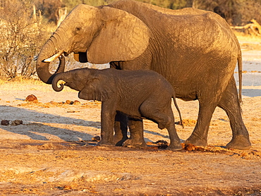 African bush elephant mother and calf (Loxodonta africana), at a watering hole in Hwange National Park, Zimbabwe, Africa