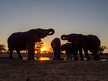 A small herd of African bush elephants (Loxodonta africana), at sunset in Hwange National Park, Zimbabwe, Africa