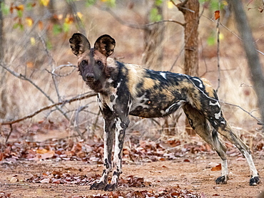 An adult African wild dog (Lycaon pictus), at a den site in the Save Valley Conservancy, Zimbabwe, Africa