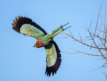 An adult lilac-breasted roller (Coracias caudatus), in flight in Hwange National Park, Zimbabwe, Africa