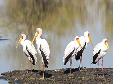 Adult yellow-billed storks (Mycteria ibis), on the shore of a watering hole in Hwange National Park, Zimbabwe, Africa