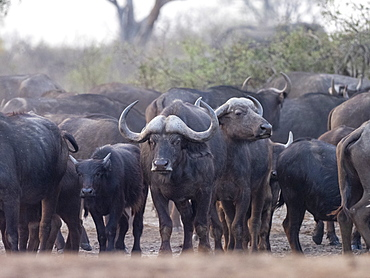 Cape buffalo herd (Syncerus caffer) in Hwange National Park, Zimbabwe, Africa