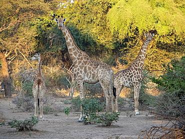 Cape giraffes (Giraffa camelopardalis giraffa), in the Save Valley Conservancy, Zimbabwe, Africa