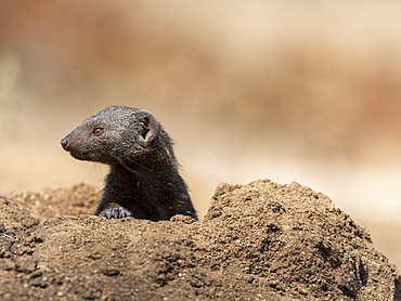 An adult common dwarf mongoose (Helogale parvula), near its burrow in the Save Valley Conservancy, Zimbabwe, Africa