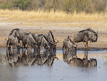 Adult common wildebeest (Connochaetes taurinus), drinking near the Lukosi River, Hwange National Park, Zimbabwe, Africa