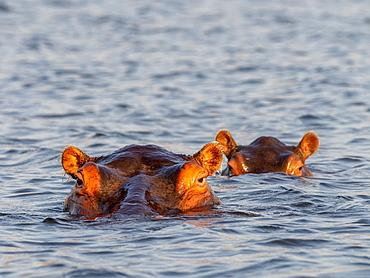 Adult hippopotamuses (Hippopotamus amphibius), bathing in Lake Kariba, Zimbabwe, Africa