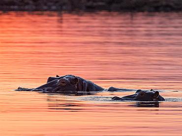 Adult hippopotamusus (Hippopotamus amphibius), bathing at sunset in Lake Kariba, Zimbabwe, Africa