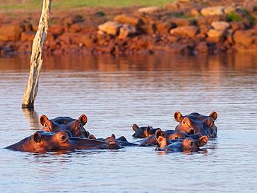 Adult hippopotamuses (Hippopotamus amphibius), bathing at sunset in Lake Kariba, Zimbabwe, Africa