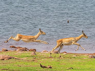 Adult impalas (Aepyceros melampus), running along the shoreline of Lake Kariba, Zimbabwe, Africa