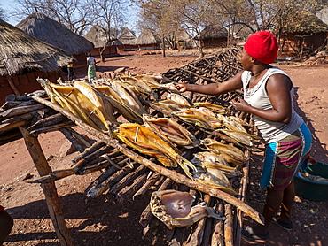 The days catch of fish drying in the sun in the fishing village of Musamba, on the shoreline of Lake Kariba, Zimbabwe, Africa