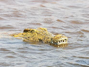 An adult Nile crocodile (Crocodylus niloticus), in the water near the shoreline of Lake Kariba, Zimbabwe, Africa