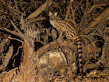 Adult rusty-spotted genet (Genetta maculata), at night in the Save Valley Conservancy, Zimbabwe, Africa