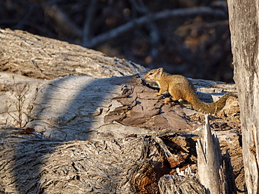 An adult Smith's bush squirrel (Paraxerus cepapi) in the Save Valley Conservancy, Zimbabwe, Africa