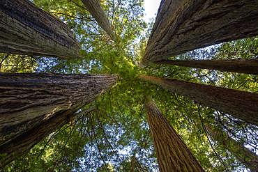 Giant redwoods on the Lady Bird Johnson Trail in Redwood National Park, UNESCO World Heritage Site, California, United States of America, North America
