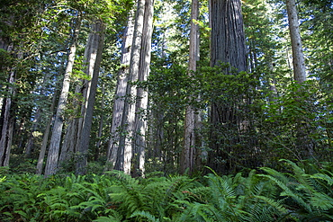 Giant redwood trees on the Trillium Trail, Redwood National and State Parks, UNESCO World Heritage Site, California, United States of America, North America