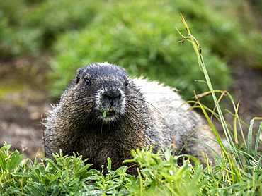 Adult hoary marmot (Marmota caligata), on the Skyline Trail, Mount Rainier National Park, Washington State, United States of America, North America