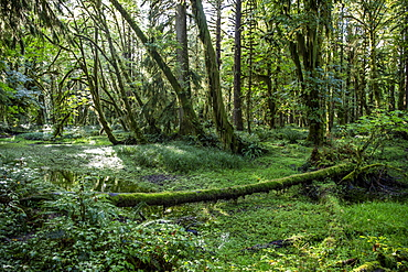 Temperate rain forest on the Maple Glade Trail, Quinault Rain Forest, Olympic National Park, UNESCO World Heritage Site, Washington State, United States of America, North America