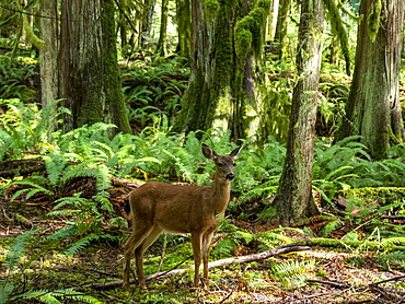 Columbian black-tailed deer (Odocoileus hemionus columbianus), Olympic National Park, UNESCO World Heritage Site, Washington State, United States of America, North America