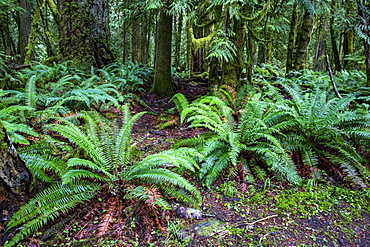 Dense ferns on the Marymere Falls Trail, Quinault Rain Forest, Olympic National Park, UNESCO World Heritage Site, Washington State, United States of America, North America