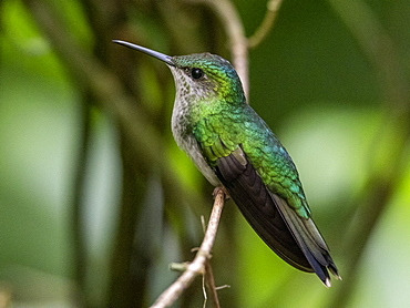 Captive versicoloured emerald (Chrysuronia versicolor), Parque das Aves, Foz do Iguacu, Parana State, Brazil, South America