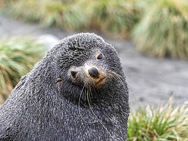 Adult bull Antarctic fur seal (Arctocephalus gazella) head detail in Salisbury Plain, South Georgia, Polar Regions