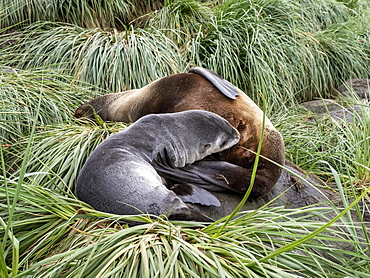Antarctic fur seal (Arctocephalus gazella) mother nursing her pup, Cooper Bay, South Georgia, Polar Regions