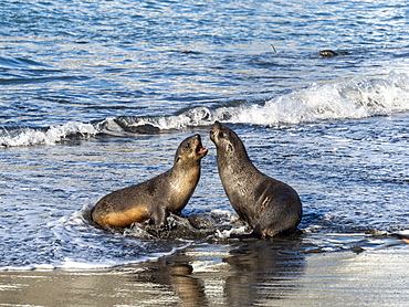 Juvenile Antarctic fur seals (Arctocephalus gazella) in the surf at Gold Harbor, South Georgia, Polar Regions