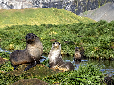 Juvenile Antarctic fur seals (Arctocephalus gazella) in the tussock grass at Gold Harbor, South Georgia, Polar Regions