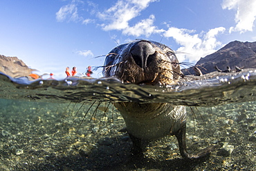 Curious juvenile Antarctic fur seal (Arctocephalus gazella) in the water at Stromness Harbor, South Georgia, Polar Regions