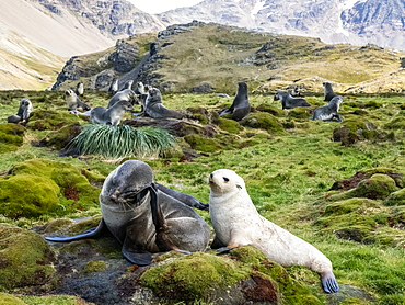 Juvenile leucistic Antarctic fur seal (Arctocephalus gazella), with its mother in Stromness Harbor, South Georgia, Polar Regions