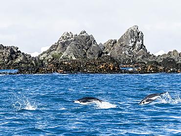 Adult chinstrap penguins (Pygoscelis antarcticus), porpoising through the sea in Cooper Bay, South Georgia, Polar Regions